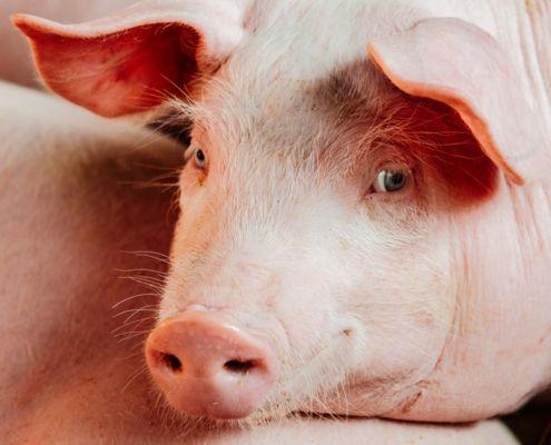 Nutrición avanzada en porcino-tecnología de precisión IPF