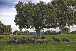 Control Patología Digestiva en Cerdo Ibérico- Kellervet Blog K