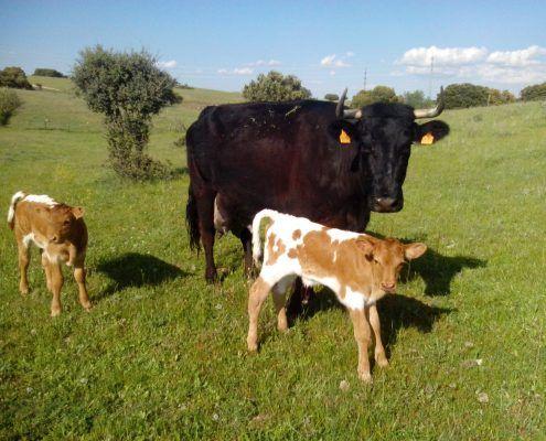 Sergio Santos especialista en vacas nodrizas - Kellervet Blog K