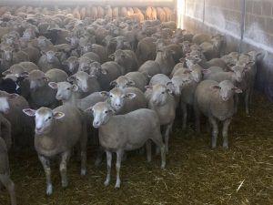 Nutrición corderos sin paja INTEGRALFEED - Kellervet Blog K