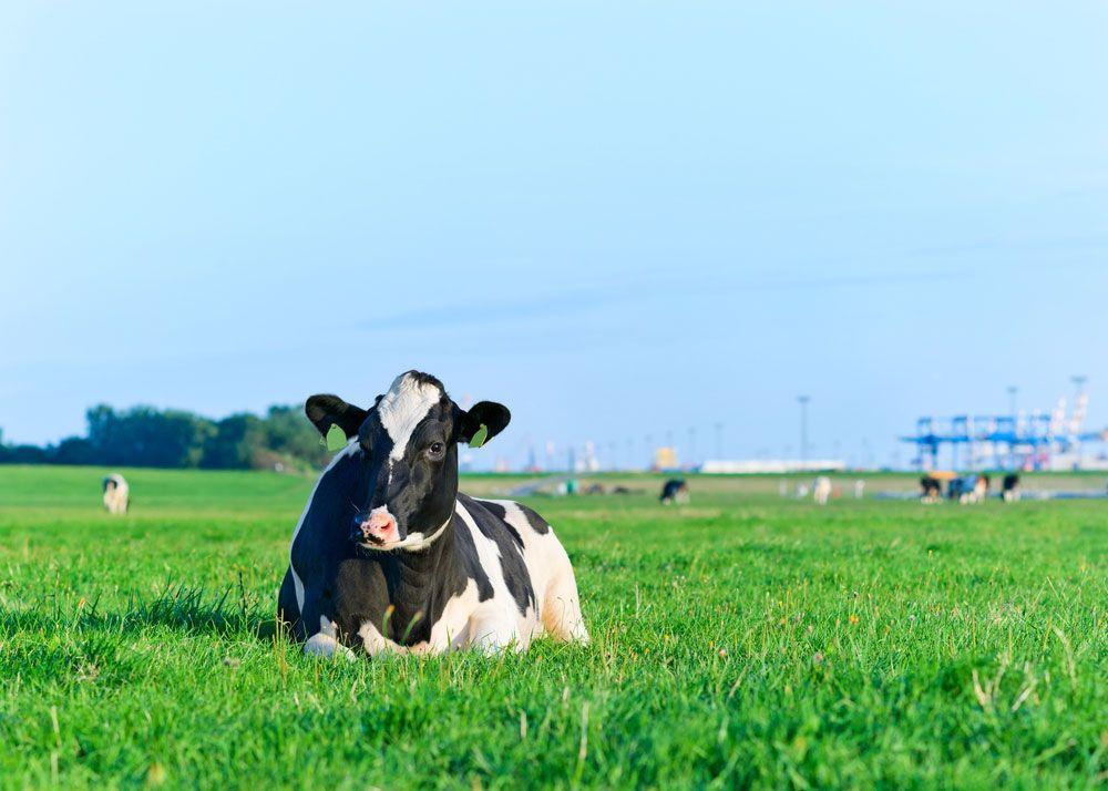 Nutrición de vacas lecheras Kellervet Blog K
