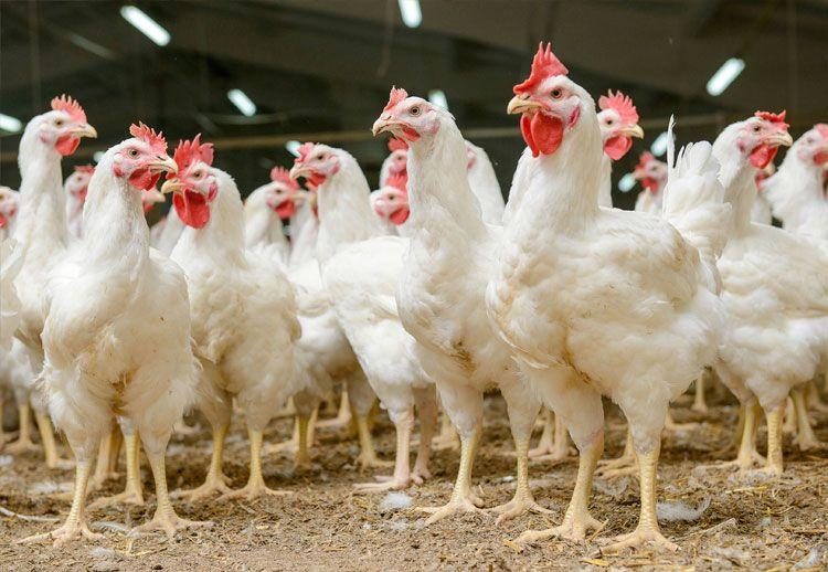 Softacid en pollos - Kellervet